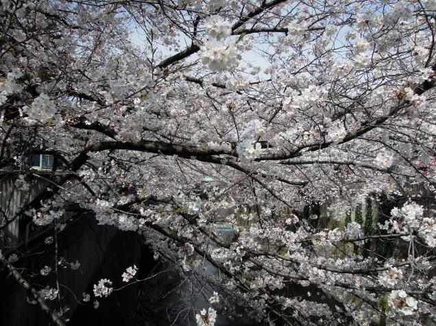神田川 面影橋 の櫻